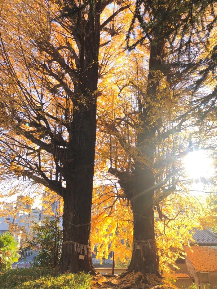 鎮守神社の水神社。境内の殆どが樹齢300年の御神木の銀杏です